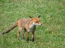 άγρια περιοχές αλεπούδων Στοκ εικόνες με δικαίωμα ελεύθερης χρήσης