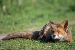 άγρια περιοχές αλεπούδων Στοκ Εικόνα