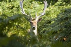 άγρια περιοχές ελαφιών στοκ εικόνες