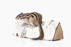 άγρια περιοχές ζωής Chipmunk που απομονώνεται στο άσπρο υπόβαθρο Στοκ φωτογραφίες με δικαίωμα ελεύθερης χρήσης