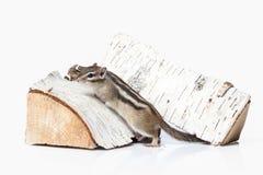 άγρια περιοχές ζωής Chipmunk που απομονώνεται στο άσπρο υπόβαθρο Στοκ Εικόνες