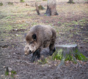 άγρια περιοχές κάπρων Στοκ Εικόνες