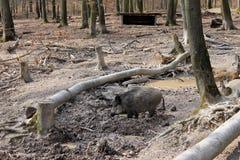 άγρια περιοχές κάπρων Στοκ φωτογραφία με δικαίωμα ελεύθερης χρήσης