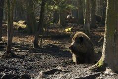 άγρια περιοχές κάπρων στοκ εικόνες με δικαίωμα ελεύθερης χρήσης