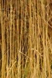 άγρια περιοχές καλάμων χλόης Στοκ Φωτογραφία