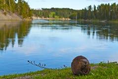 άγρια περιοχές καστόρων Στοκ Φωτογραφίες