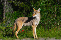 άγρια περιοχές κογιότ Στοκ Εικόνα