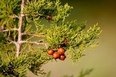 Άγρια περιοχές κώνος-λιγότερα καρύδια πεύκων Στοκ Φωτογραφίες