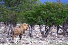 άγρια περιοχές λιονταριών Στοκ εικόνες με δικαίωμα ελεύθερης χρήσης