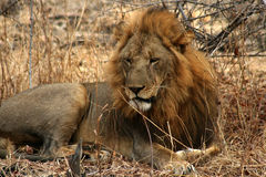 άγρια περιοχές λιονταριών στοκ φωτογραφίες