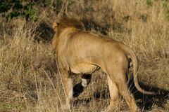 άγρια περιοχές λιονταριών Στοκ εικόνα με δικαίωμα ελεύθερης χρήσης
