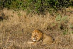 άγρια περιοχές λιονταριών Στοκ φωτογραφία με δικαίωμα ελεύθερης χρήσης