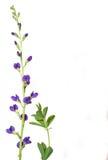 άγρια περιοχές λουλακι& Στοκ Εικόνα