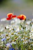 άγρια περιοχές λουλουδιών Στοκ φωτογραφίες με δικαίωμα ελεύθερης χρήσης