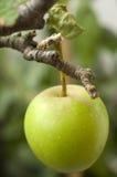 άγρια περιοχές μήλων Στοκ Φωτογραφία
