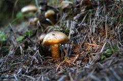 άγρια περιοχές μανιταριών Στοκ Φωτογραφίες