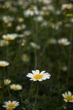 άγρια περιοχές μαργαριτών Στοκ φωτογραφίες με δικαίωμα ελεύθερης χρήσης