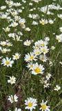 άγρια περιοχές μαργαριτών Στοκ εικόνες με δικαίωμα ελεύθερης χρήσης