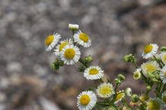 άγρια περιοχές μαργαριτών Στοκ εικόνα με δικαίωμα ελεύθερης χρήσης