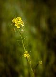 άγρια περιοχές μουστάρδα& Στοκ φωτογραφία με δικαίωμα ελεύθερης χρήσης