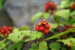 άγρια περιοχές μούρων Στοκ φωτογραφίες με δικαίωμα ελεύθερης χρήσης