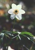 Άγρια περιοχές που αυξάνονται το άσπρο anemona Στοκ Εικόνα