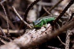 άγρια περιοχές σαυρών ενυδρείων ζώων Στοκ εικόνες με δικαίωμα ελεύθερης χρήσης