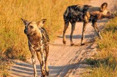άγρια περιοχές σκυλιών Στοκ Εικόνες