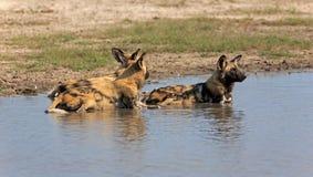 άγρια περιοχές σκυλιών Στοκ Φωτογραφία