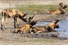 άγρια περιοχές σκυλιών Στοκ φωτογραφίες με δικαίωμα ελεύθερης χρήσης