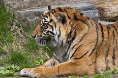 άγρια περιοχές τιγρών Στοκ Εικόνες