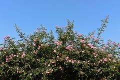άγρια περιοχές τριαντάφυλ Στοκ Εικόνα