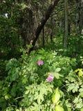 άγρια περιοχές τριαντάφυλ Στοκ εικόνες με δικαίωμα ελεύθερης χρήσης