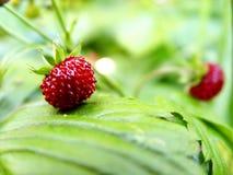 άγρια περιοχές φραουλών στοκ εικόνες με δικαίωμα ελεύθερης χρήσης