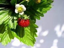 άγρια περιοχές φραουλών Στοκ Εικόνες