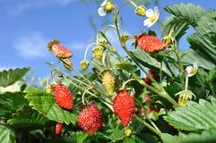 άγρια περιοχές φραουλών στοκ φωτογραφίες