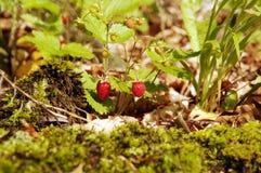 άγρια περιοχές φραουλών Στοκ Φωτογραφία