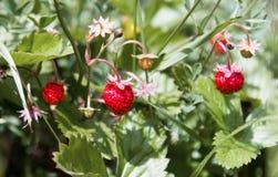άγρια περιοχές φραουλών στοκ φωτογραφία με δικαίωμα ελεύθερης χρήσης