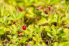άγρια περιοχές φραουλών θάμνων κάδων Στοκ φωτογραφία με δικαίωμα ελεύθερης χρήσης