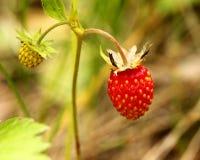 άγρια περιοχές φραουλών θάμνων κάδων Στοκ εικόνες με δικαίωμα ελεύθερης χρήσης