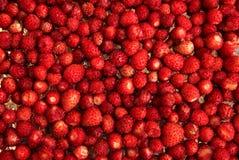 άγρια περιοχές φραουλών θάμνων κάδων στοκ εικόνα με δικαίωμα ελεύθερης χρήσης