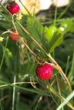 άγρια περιοχές φραουλών θάμνων κάδων Στοκ Εικόνες