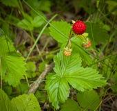 άγρια περιοχές φραουλών θάμνων κάδων Στοκ Φωτογραφία