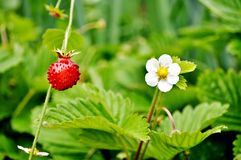 άγρια περιοχές φραουλών θάμνων κάδων Fragaria vesca Στοκ εικόνες με δικαίωμα ελεύθερης χρήσης