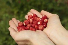 άγρια περιοχές φραουλών χεριών Στοκ Εικόνες
