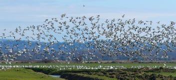 άγρια περιοχές χήνων Στοκ φωτογραφίες με δικαίωμα ελεύθερης χρήσης