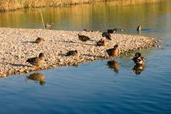 άγρια περιοχές χήνων Στοκ φωτογραφία με δικαίωμα ελεύθερης χρήσης