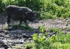 άγρια περιοχές χοίρων Στοκ φωτογραφίες με δικαίωμα ελεύθερης χρήσης