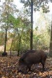 άγρια περιοχές χοίρων Στοκ εικόνα με δικαίωμα ελεύθερης χρήσης