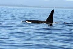 άγρια περιοχές orca Στοκ Εικόνες